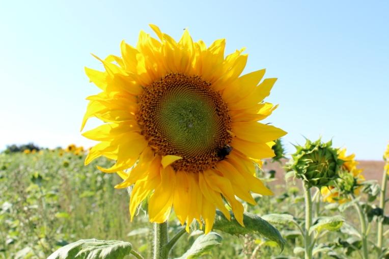 Kameragurt-Sonnenblumen-Kornblumen-Kamille01