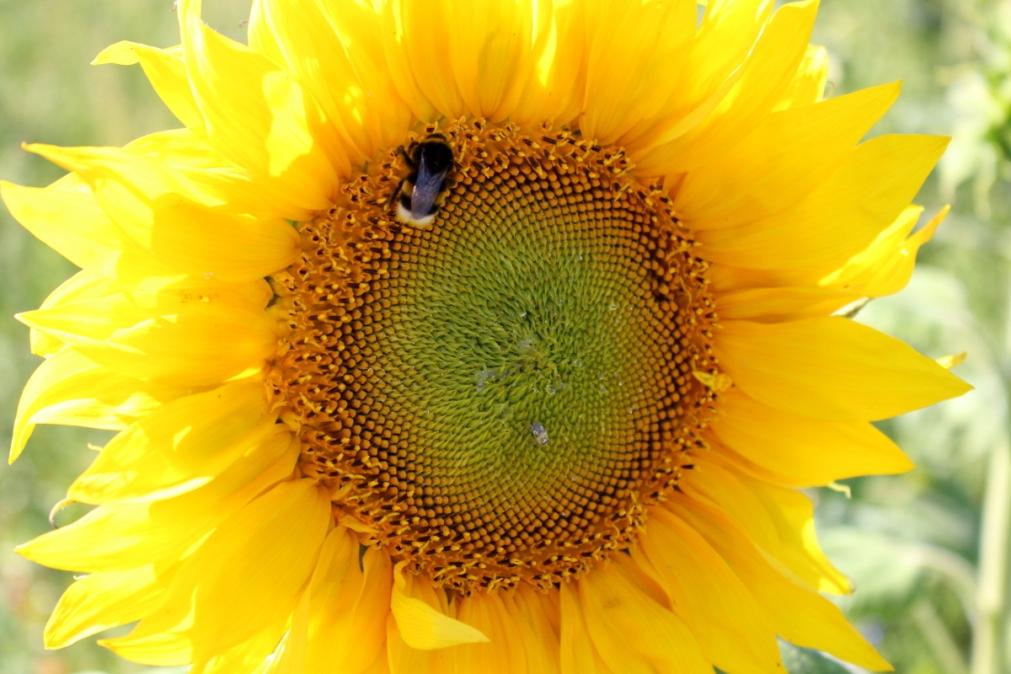 Kameragurt-Sonnenblumen-Kornblumen-Kamille02