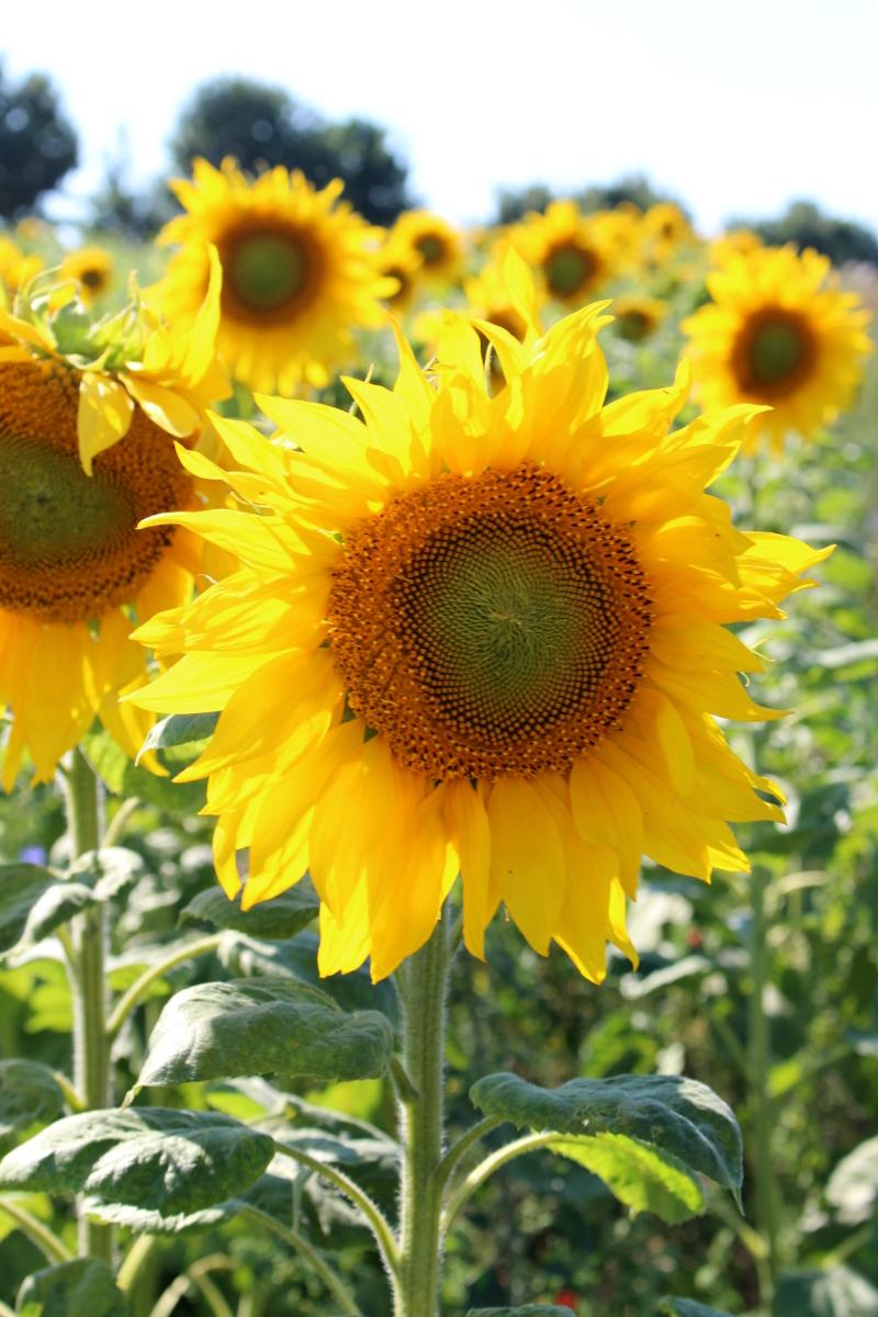 Kameragurt-Sonnenblumen-Kornblumen-Kamille03