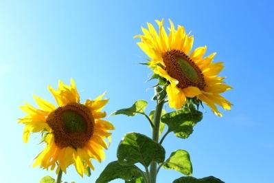 Kameragurt-Sonnenblumen-Kornblumen-Kamille04