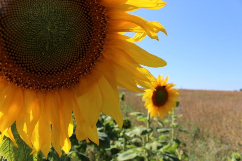 Kameragurt-Sonnenblumen-Kornblumen-Kamille05