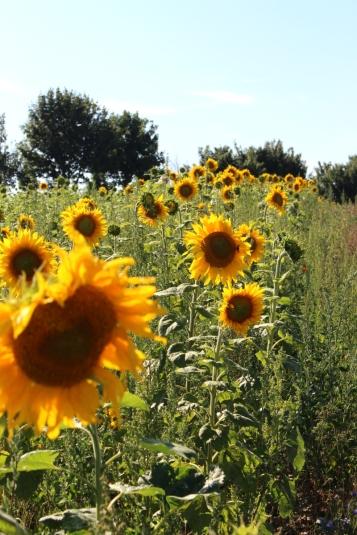 Kameragurt-Sonnenblumen-Kornblumen-Kamille06