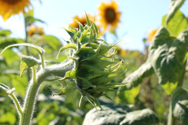Kameragurt-Sonnenblumen-Kornblumen-Kamille07