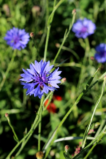 Kameragurt-Sonnenblumen-Kornblumen-Kamille10