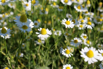 Kameragurt-Sonnenblumen-Kornblumen-Kamille12
