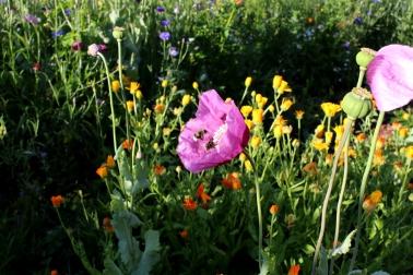 Garten_Bienenwiese_Rosen02