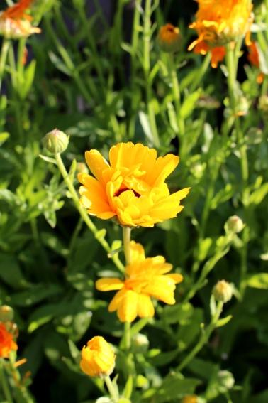 Garten_Bienenwiese_Rosen09