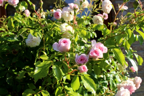 Garten_Bienenwiese_Rosen10
